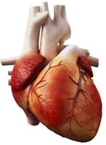 Corazón células madre Células madre y regeneración cardiovascular IMG 1792 220x300